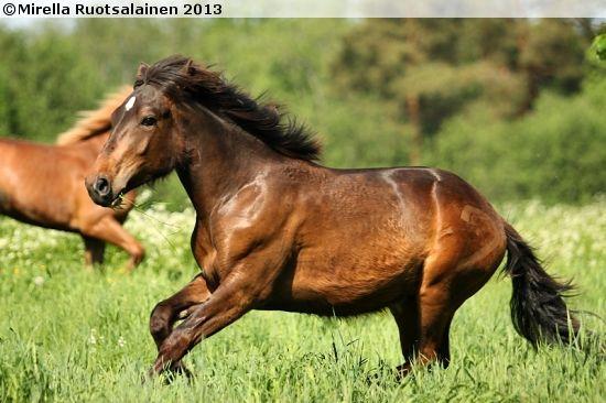 Finnhorse