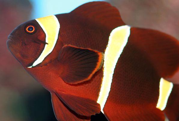 Gold Striped Maroon Clown Clown Fish Aquarium Fish Fish