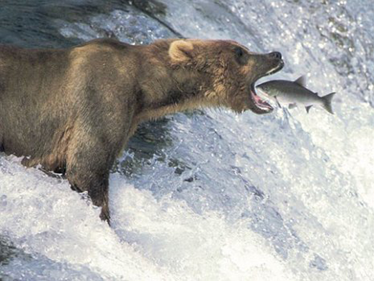 Image result for salmon leaping into bears mouth