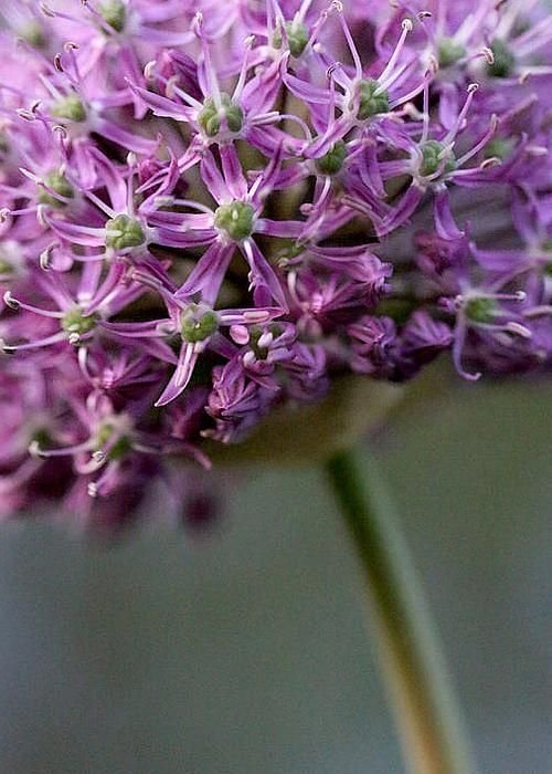Allium by Isabella Seaman