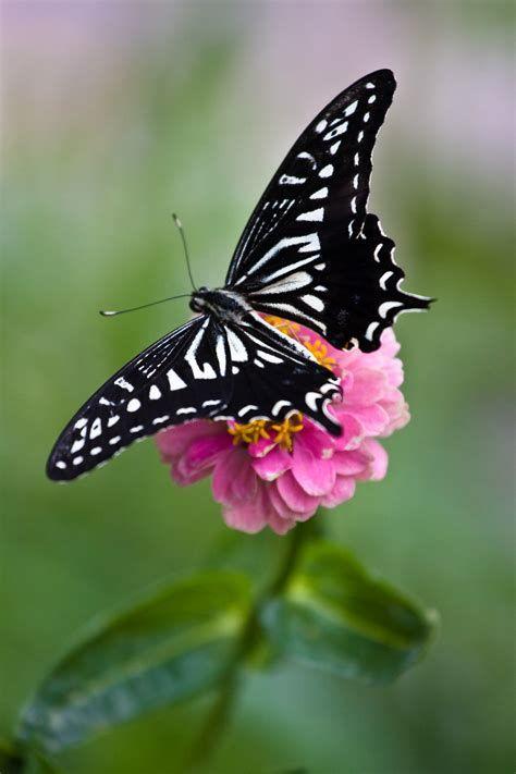 Encyclopedia Smithsonian: Butterflies