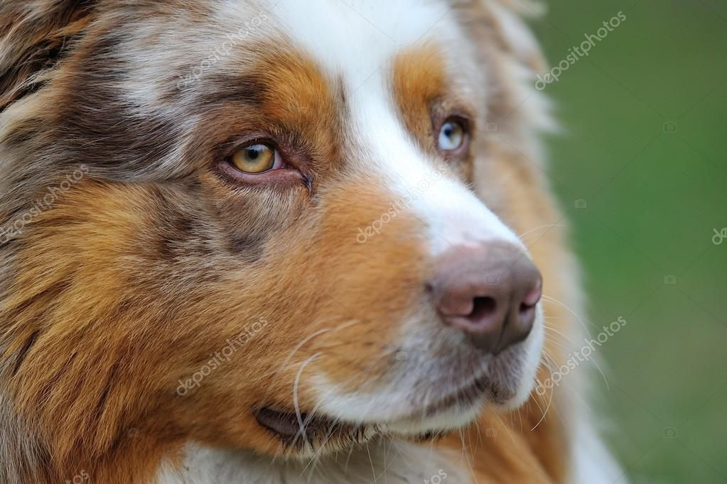 Australian Shepherd portrait Stock Photo , spon,