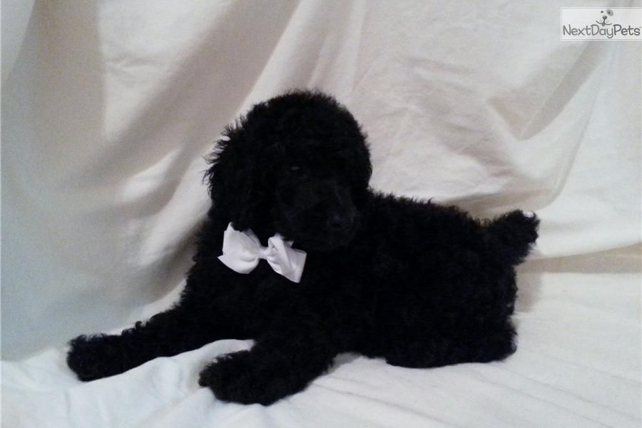 Poodle Standard For Sale For 600 Near San Antonio Texas