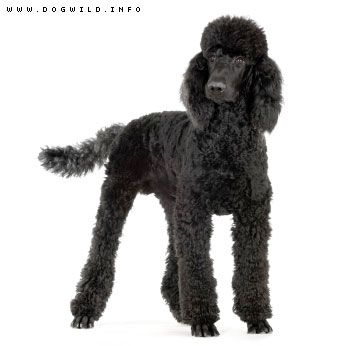 Standard Poodles Are The Best Dogs I Have Ever Had Dog Breeds