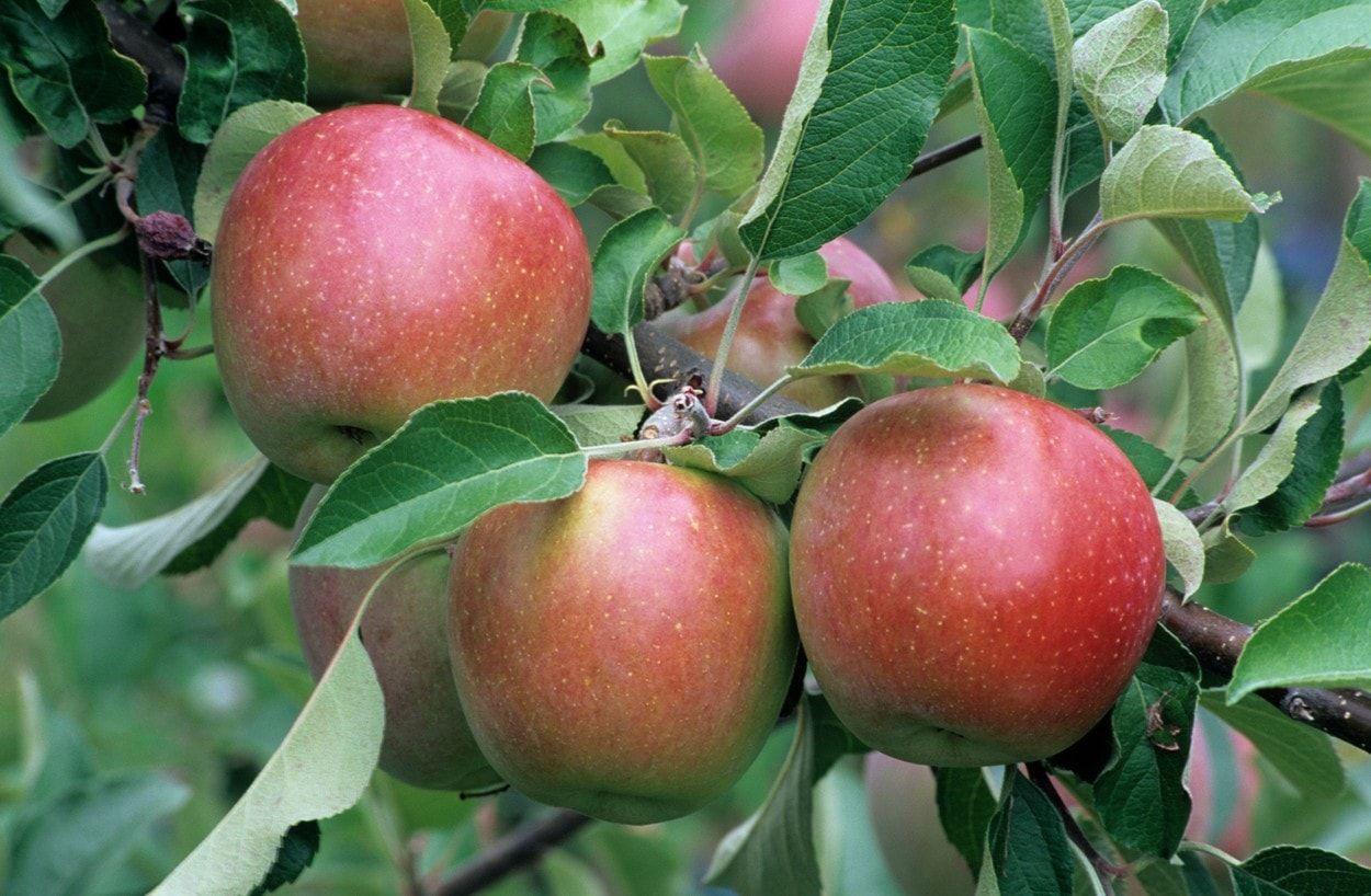 Jabĺk existuje na trhu nepreberné množstvo. Je skutočne potešujúce, že záhradkári majú z čoho vyberať. Aby ste sa v tejto záplave odrôd lepšie zorientovali, prinášame prehľad odrôd, ktoré sú nielenže chutné, ale dajú sa skladovať až do neskorých jarných mesiacov.
