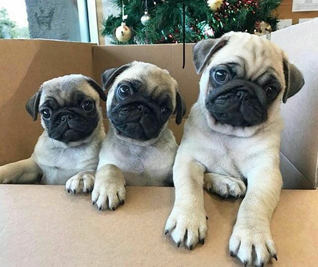 Pin By Taylor Kangas On Pugs Pinterest Dog Fur Babies And Doggies
