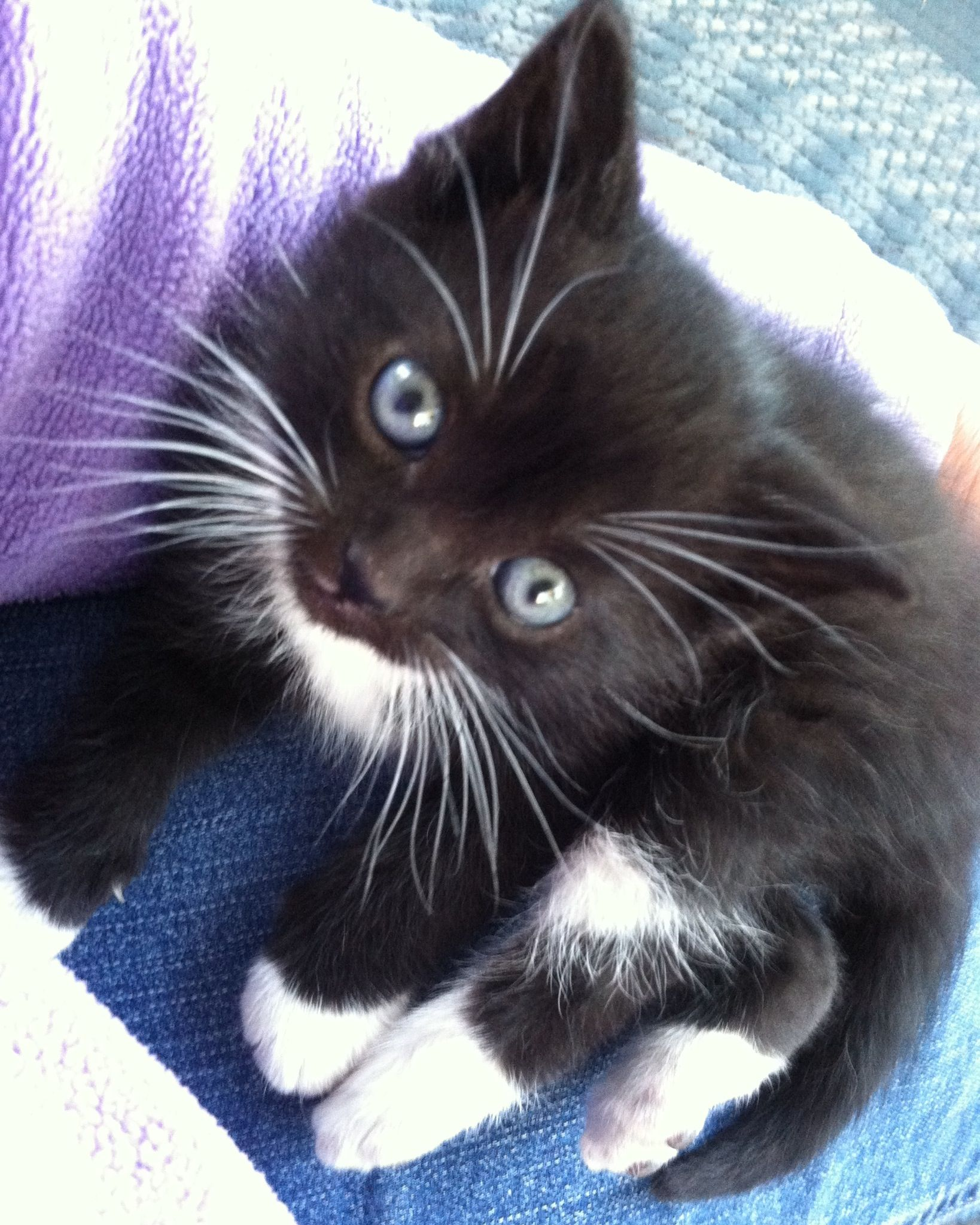 Tuxedo kitten, 6.5 weeks old. Cute cats Pinterest