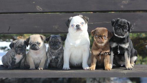 Pugs All Shapes Sizes 3 Cute Pugs Pugs