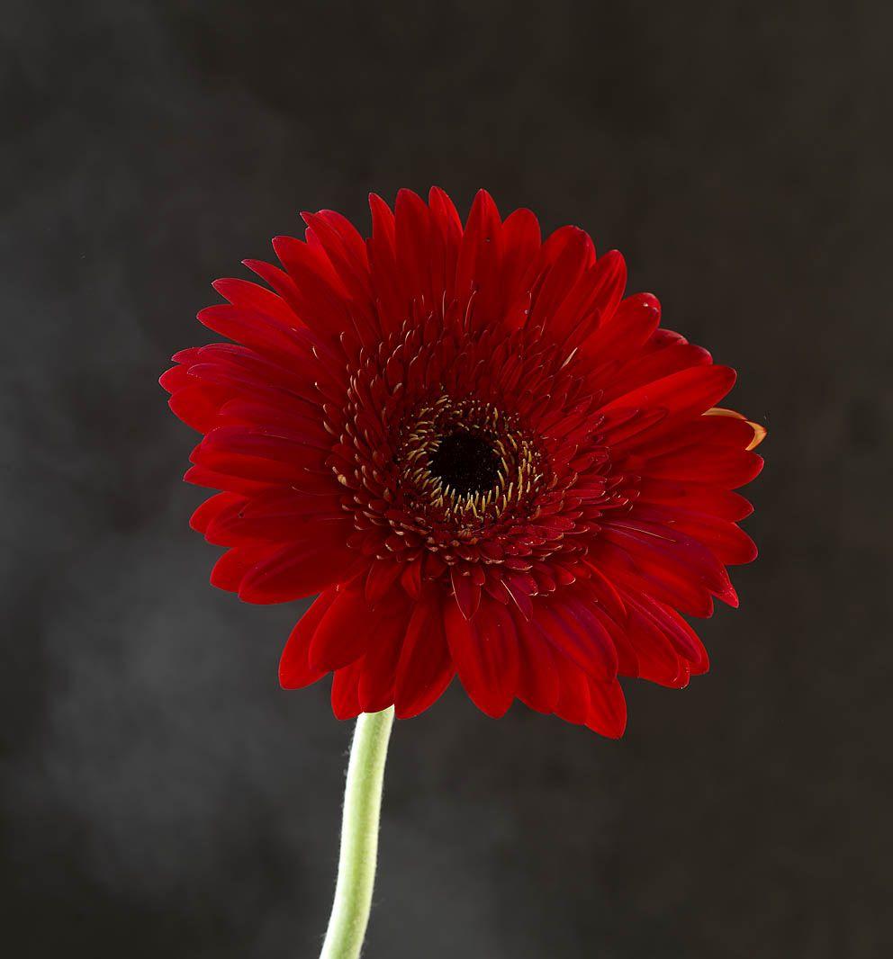 Colorful Daisylike Flowers Atop Tubular Stems Make Gerberas One Of