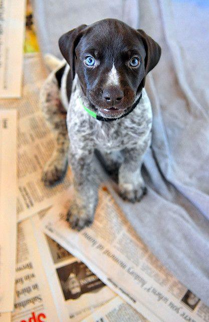 Blue Eyed Puppy German Shorthaired Pointer Bird Dogs Pointer Puppies