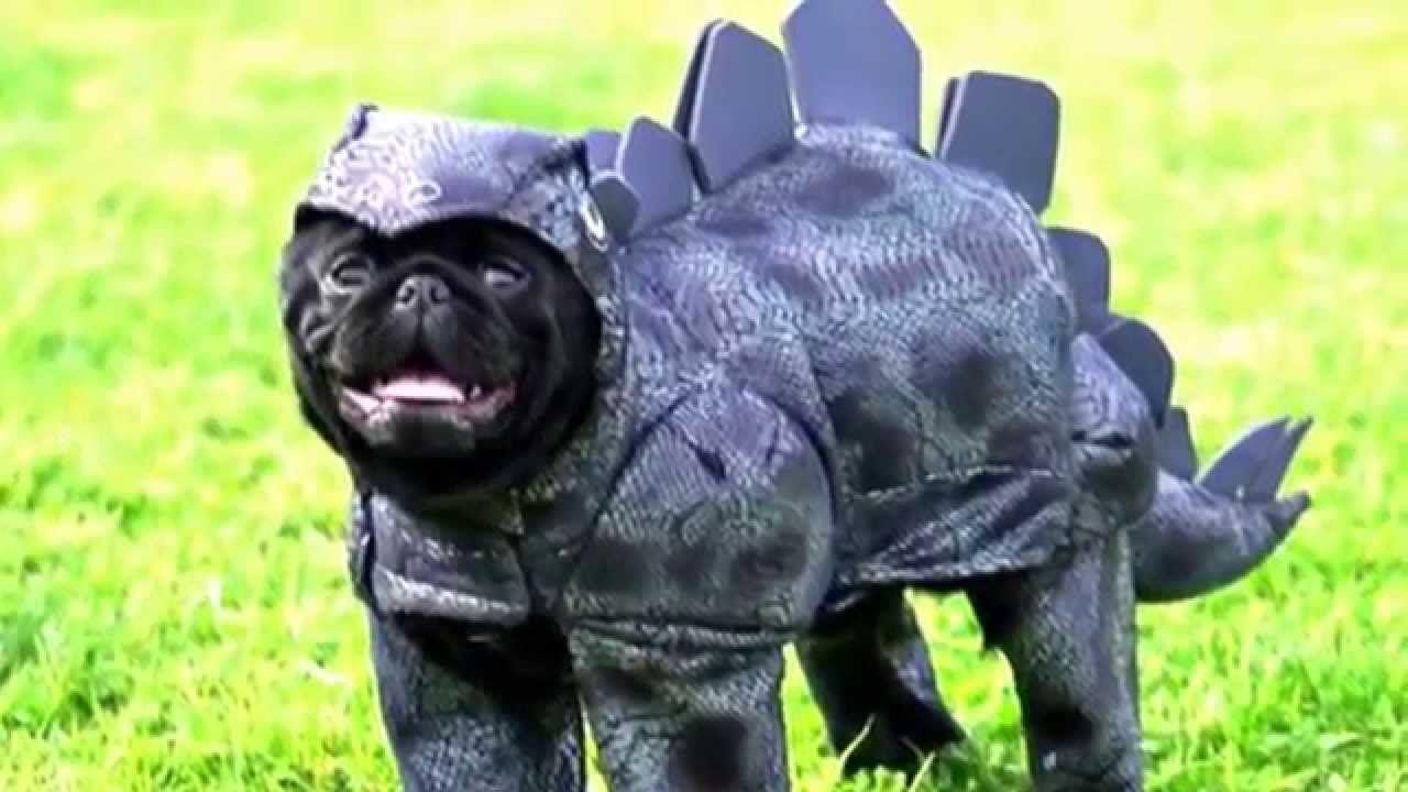 Pug Costume Pugs In Costume Pugs Funny Pugs