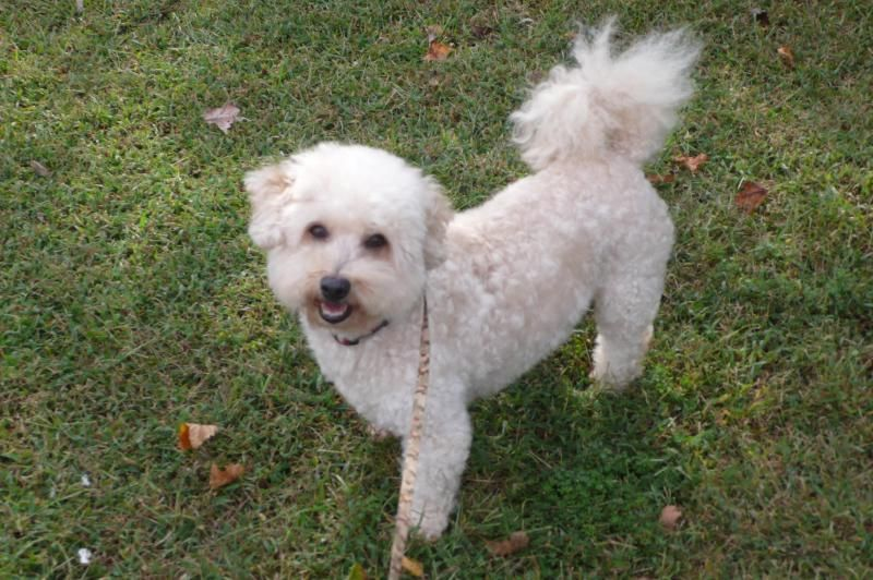 Adopt Nick On Poodle Mix Dogs Bichon Frise Dogs