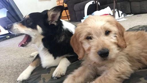 Goldendoodle Puppy For Sale In Pueblo Co Adn 30917 On Puppyfinder