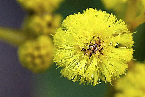 Acacia Pycnantha Australian Native Plants Plant Species Flowers