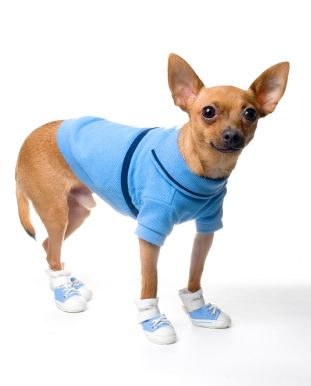 Chihuahua in Shoes Footwear   Things I love   Pinterest