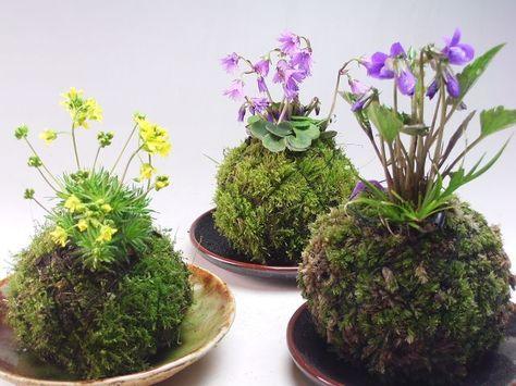 Pr sentieren sie ihren pflanzen im kokedama trend und berraschen sie ihren kunden mit diesem - Japanische zimmerpflanzen ...