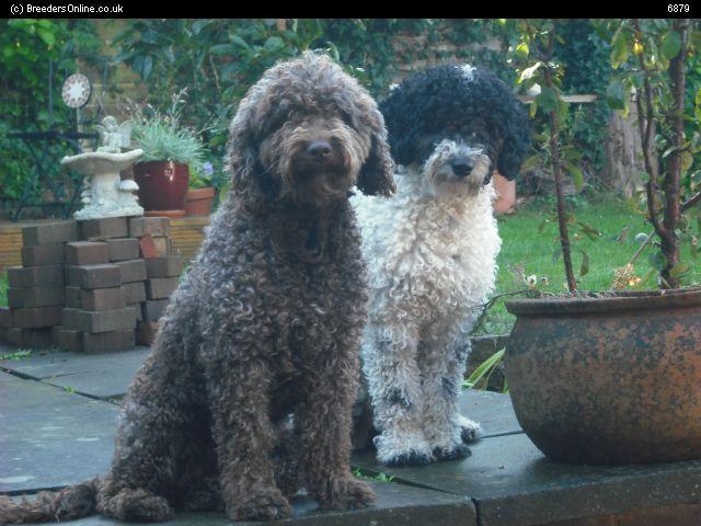 Spanish Water Dog Puppies For Sale And Spanish Water Dog Breeders Spanish Water Dog Dog Breeder Dogs For Sale