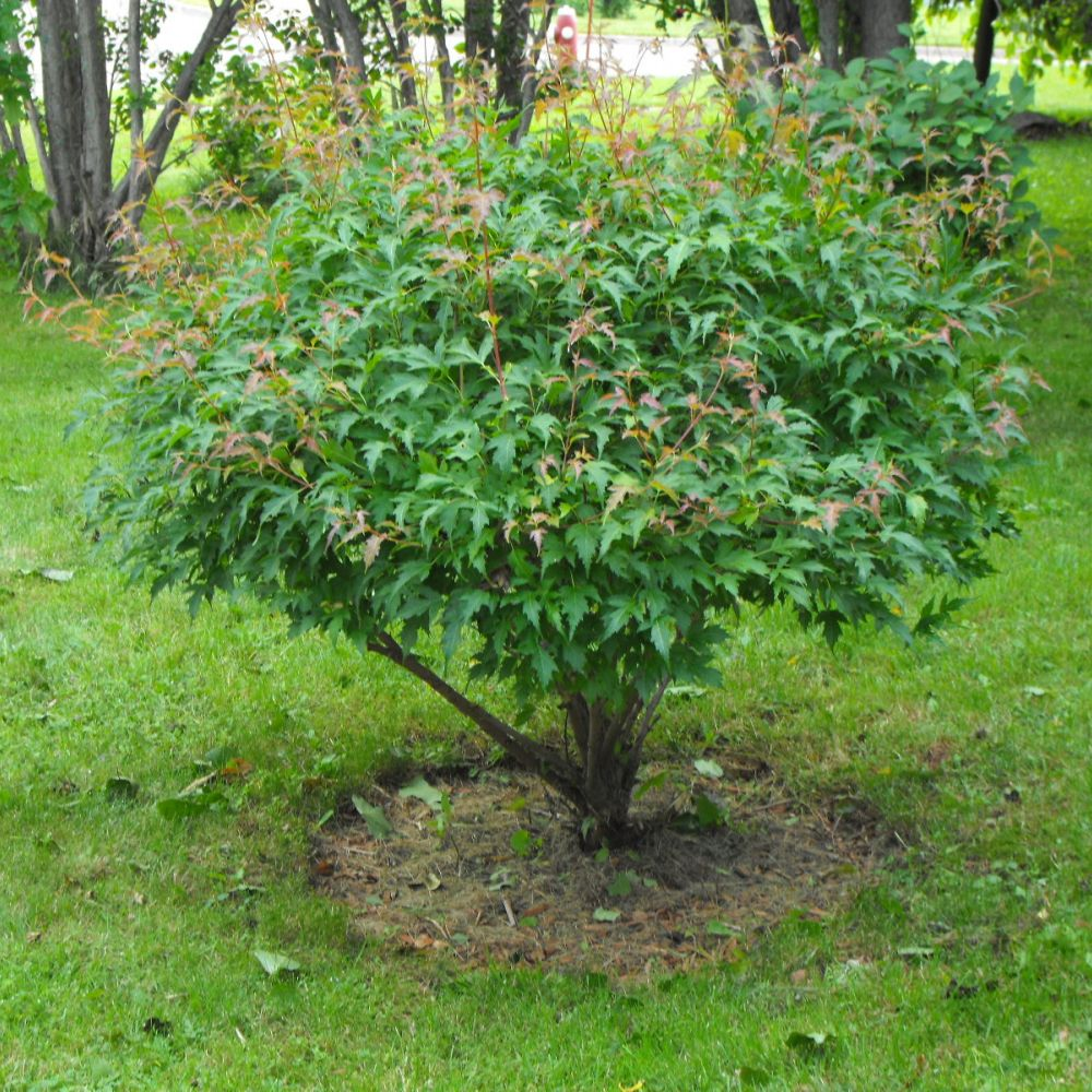 Evergreen trees canada google search bushes shrubs for Popular small trees