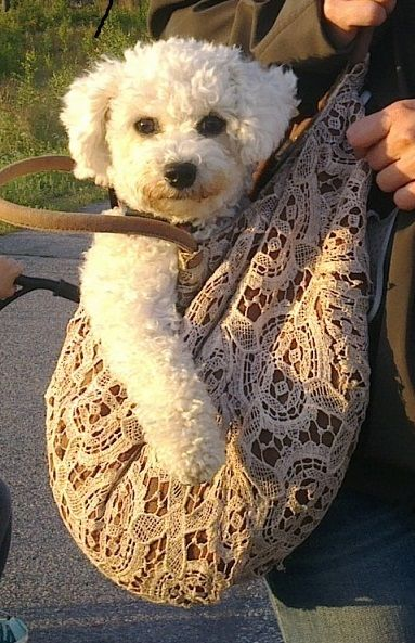 Bichon frise- wish my boys would cooperate like this!