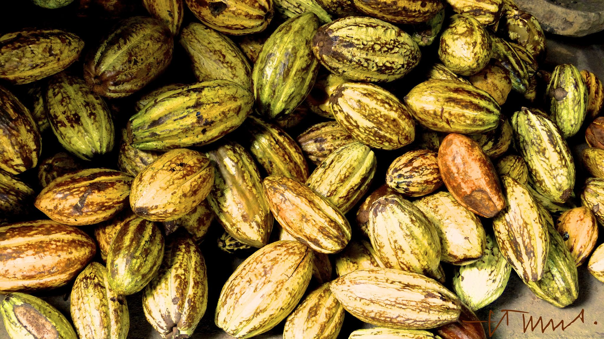 Cocoa Fruit, El Salvador   Pinterest   Theobroma cacao, Greek and Beans