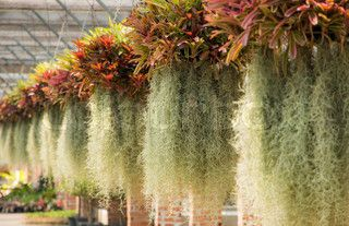 spanish moss caladiums pinterest