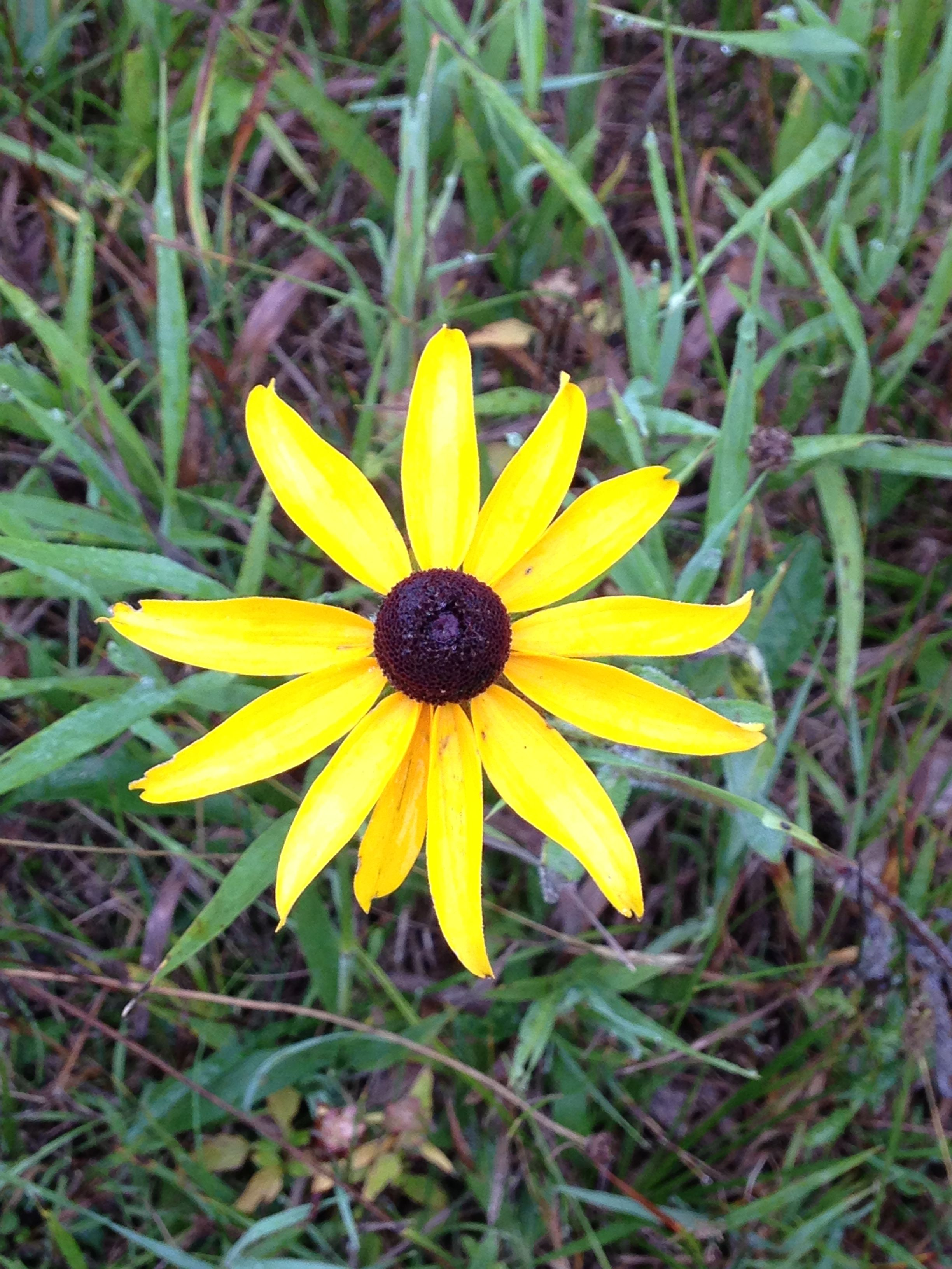 Michigan Wildflowers Black Eyed Susan Wild Flowers Wildflower Garden Black Eyed Susan