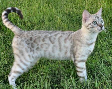 Bengal Cats And Kittens From Florida Bengal Breeder Bengal Cat