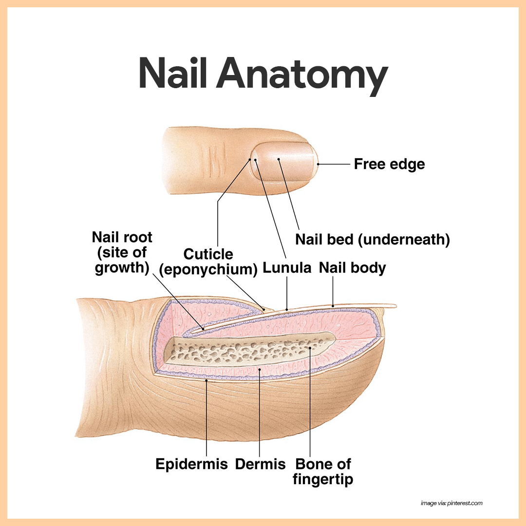 Integumentary system anatomy and physiology bodies people and known your nail anatomy in order to become a good nail technician it is important to know your nail anatomy in order not to cause any harm to your natural pooptronica Gallery