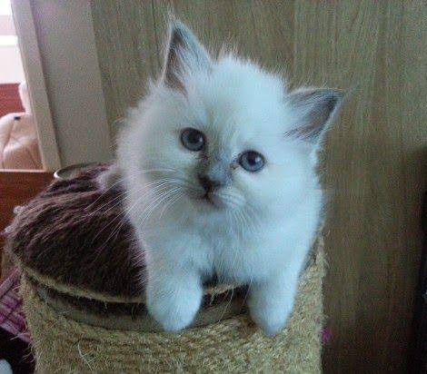 Excellent Pedigree Birman Kittens Birman Kittens Kitten Adoption Kittens