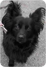 Image Result For Tibetan Terrier Mix Papillon Pomeranian Mix