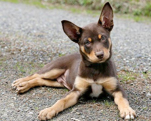 Australian Kelpie Puppies Grant And I Just Had 6 Last Week Can T Wait For Them To Open Their Eyes Australian Kelpie Dog Dog Breeds Puppies