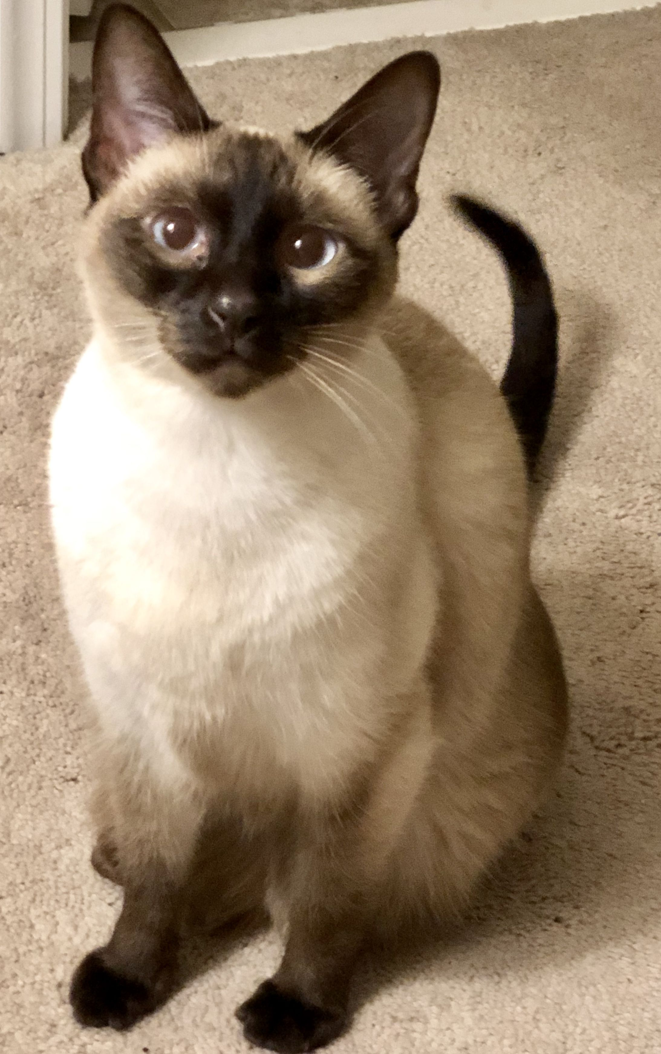 Pin By Jennifer French On Chocolate Point Seal Point Siamese Pretty Cats Siamese Cats Cute Cats Photos