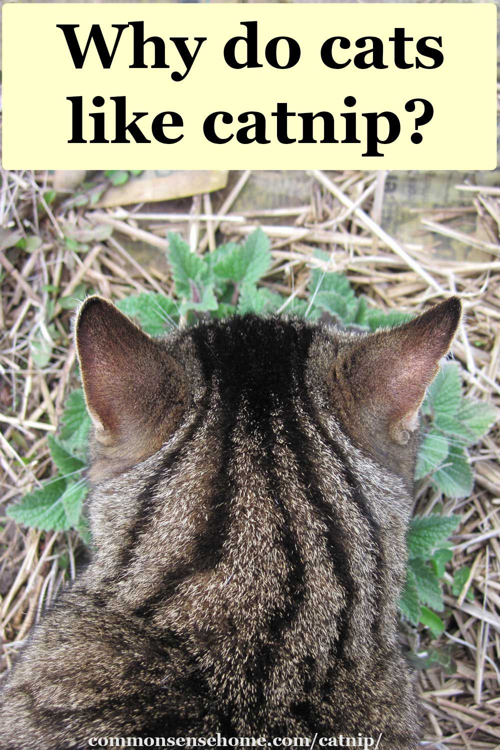 Catnip Uses for People and Cats Weekly Weeder 19