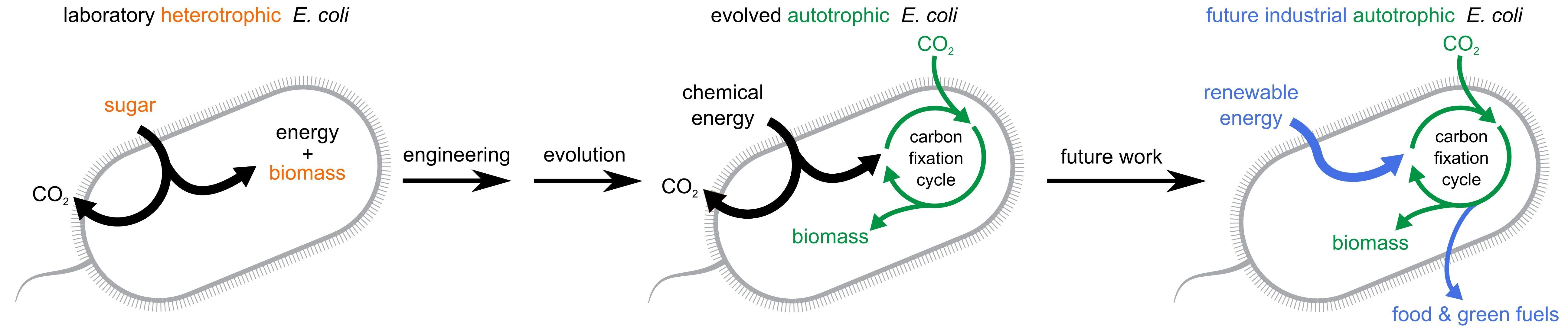 Scientists Engineered An E Coli Bacteria To Eat Co2 Chemical Energy Bacteria Carbon Dioxide