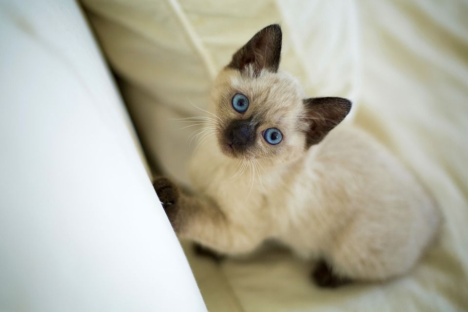 Healthy And Purebred Siamese Cats Kittens For Sale In India Get Healthy And Purebred Siamese Kittens For Siamese Cats For Sale Siamese Kittens Purebred Cats