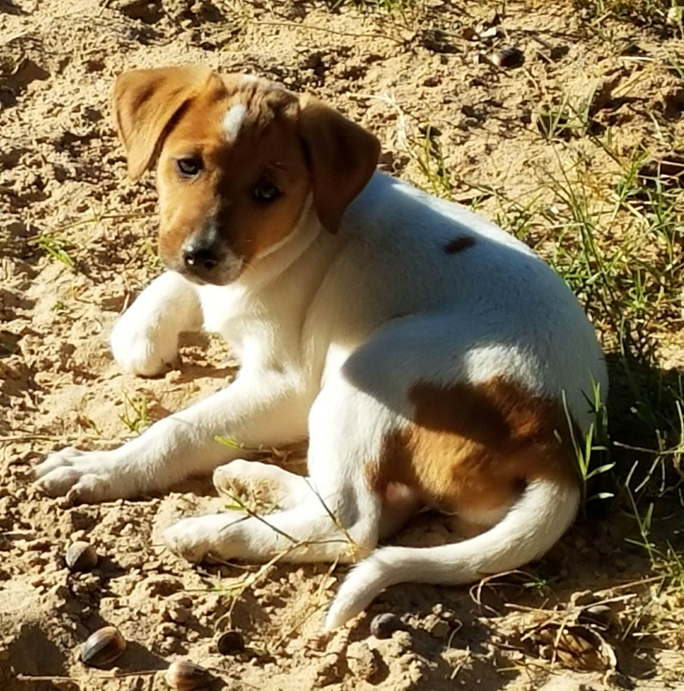 Golden Labrador Dog For Adoption In San Antonio Tx Adn 748619 On