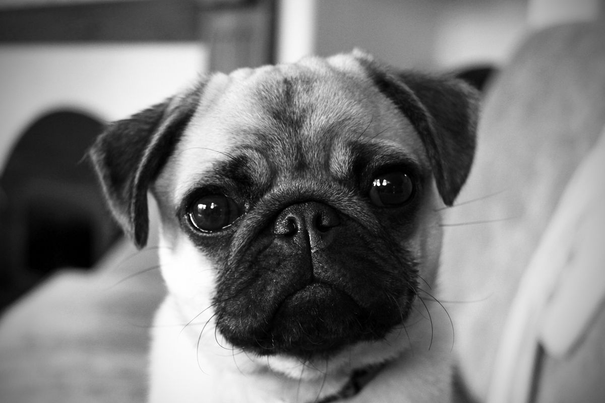 pug face Pugs, Pug pictures, Dogs