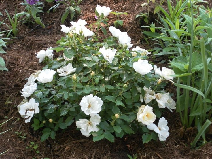 White Knock Out Roses Rose For Front Landscape