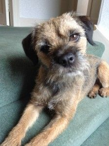 Baxter And Leo Border Terriers With Digestive And Skin Problems