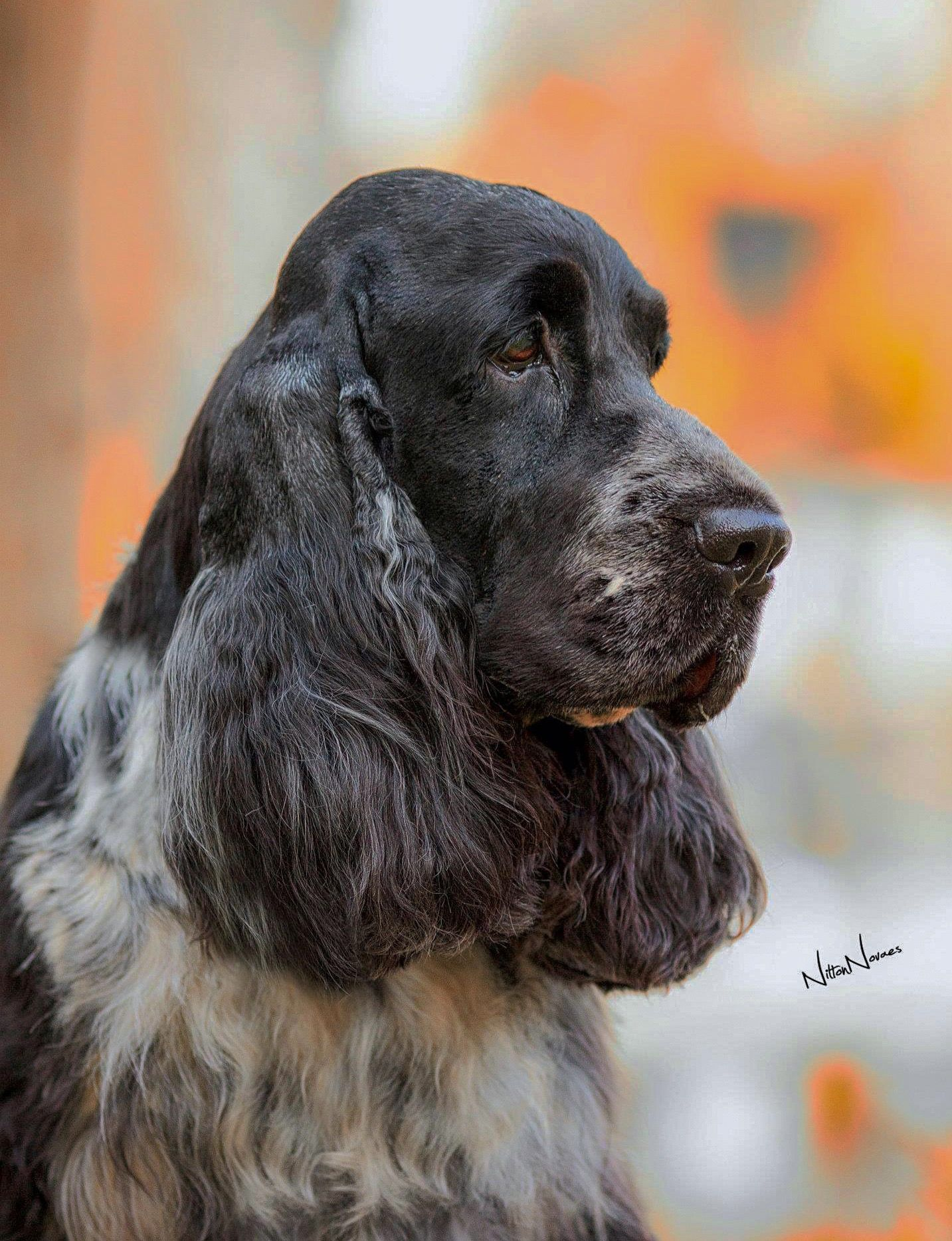 Pin By Erika Zick On Engelse Cocker Spaniels In 2020 Blue Roan Cocker Spaniel Cocker Spaniel Raining Cats And Dogs