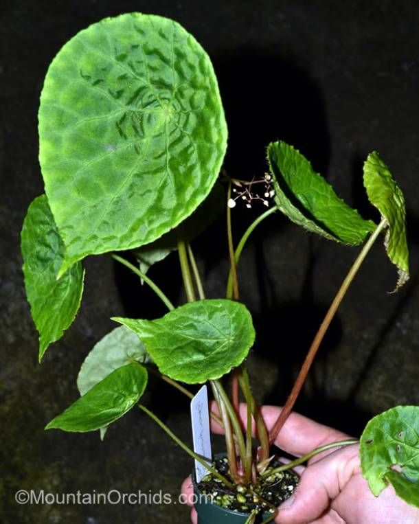 Mountain Orchids Begonia phuthoensis Plantas para jardin - plantas para jardin