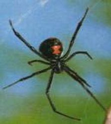 Black Widow After a bite these symptoms may develop: • severe muscle pain  • cramps  • weakness  • difficulty breathing  • headache  • nausea  • vomiting Symptoms begin within the first three hours. Call Carolinas Poison Center at 1-800-222-1222 with questions or for more information about a spider bite