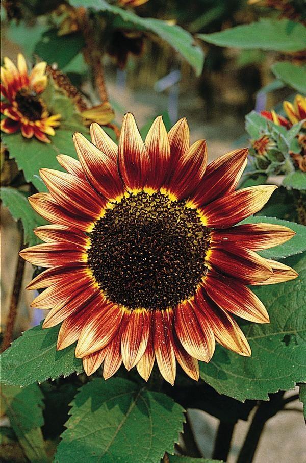 Floristan Sunflower Red Sunflowers Sunflower Garden Garden Seeds Flowers