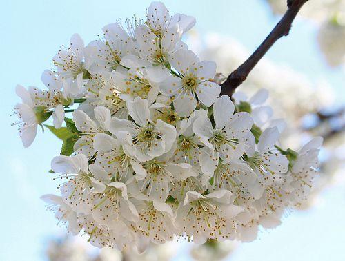 Cherry Trees Spledour Cherry Tree Flowers Tree
