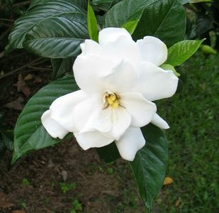 How To Plant And Care For A Gardenia Bush Gardenia Plant Gardenia Trees Gardenia Bush