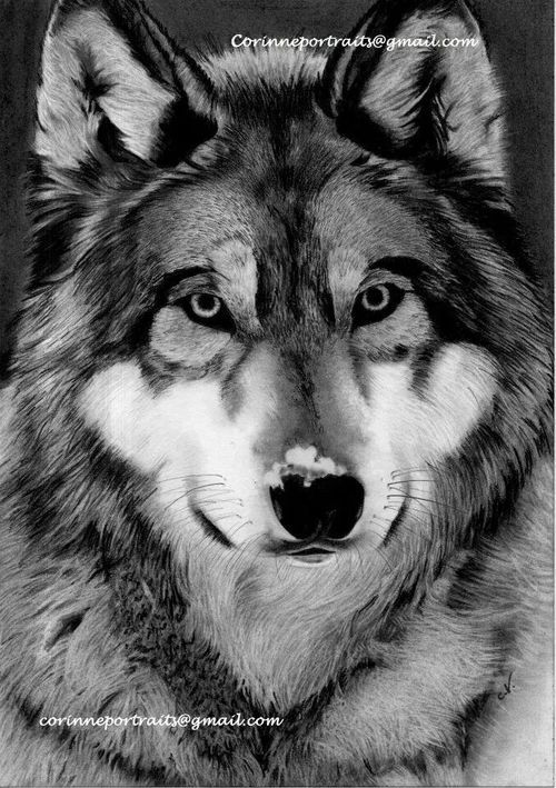 how to draw a wolf with charcoal