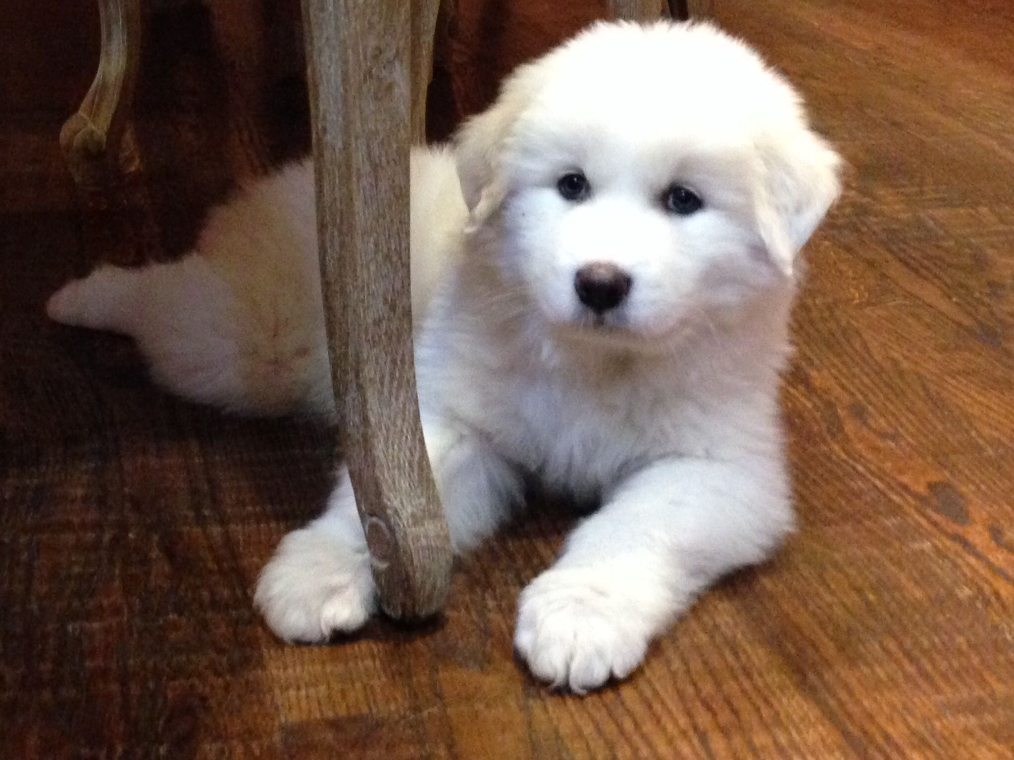 8 Week Old Great Pyrenees Otis Is A Sweetie Great Pyrenees