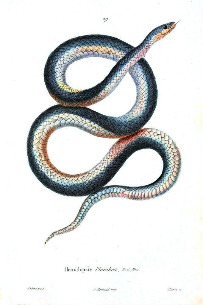 Animal - Reptile - Snake - Grayish 2. jpg   Animal anatomy ...
