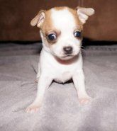 Puppies For Sale Minnesota Chihuahua Breeders Puppies For Sale