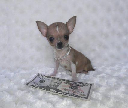 Pin By Jenny Taylor On My Micro Chihuahua Puppys Chihuahua